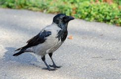 Hooded grey crow Stock Image