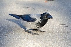 Hooded grey crow Stock Photos