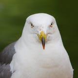 Hooded gull Stock Image