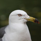 Hooded gull Royalty Free Stock Images
