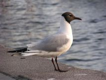 Hooded Gull (Norway) Stock Photography