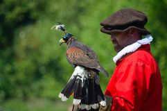 Hooded Harris Hawk on the glove of a man wearing a red  Elizabethan costume. Saffron Walden, Essex, England - June 05, 2016: Hooded Harris Hawk on the glove of Royalty Free Stock Image