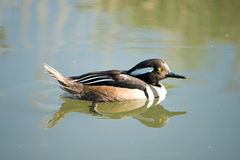 hooded male merganser Arkivbilder