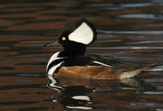 hooded male merganser Royaltyfri Fotografi