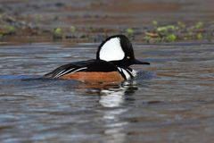 hooded male merganser Arkivfoto