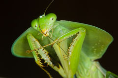 Hooded Mantis Stock Images