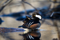 Hooded Merganser Stock Photos