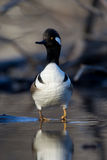Hooded Merganser Stock Photo