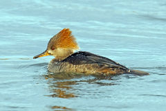 Hooded Merganser Royalty Free Stock Images