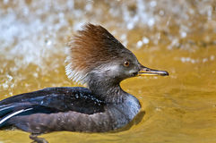 Hooded Merganser Stock Photography