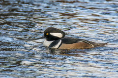 hooded merganser Royaltyfri Foto