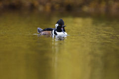 Hooded Merganser in autumn Stock Images