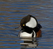 Hooded Merganser Stock Images