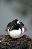 Hooded Merganser Duck Royalty Free Stock Images