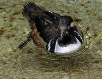 Hooded Merganser Duck. Close up detail of Merganser diving duck Stock Images