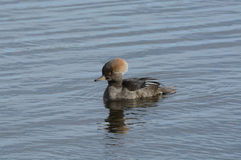 Hooded Merganser Duck Stock Photos