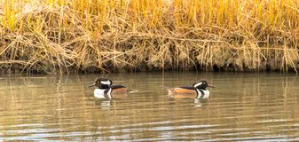 Hooded Merganser duck going in different directions stock photography