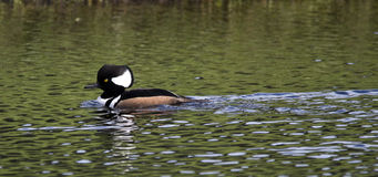 Hooded Merganser Duck, Male. On a lake in Melbourne, Florida royalty free stock images