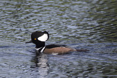 Hooded Merganser Duck, Male. On a lake in Melbourne, Florida royalty free stock photo