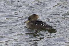 Hooded Merganser female Stock Photography