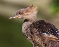 Hooded Merganser (female) Stock Image