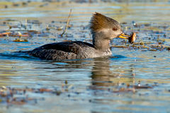 Hooded Merganser Royalty Free Stock Image