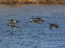 Hooded Merganser Flock Royalty Free Stock Photos