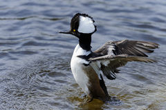 Hooded merganser, lophodytes cucullatus Stock Images
