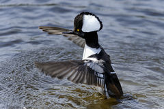 Hooded merganser, lophodytes cucullatus Royalty Free Stock Images