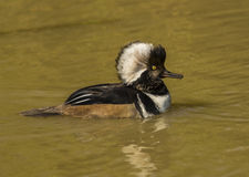 Hooded Merganser / Lophodytes cucullatus Stock Photos