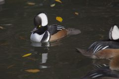 Hooded Merganser (Lophodytes cucullatus) Royalty Free Stock Images
