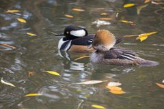 Hooded Merganser (Lophodytes cucullatus) Stock Images