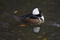 Hooded Merganser (Lophodytes cucullatus) Royalty Free Stock Photography