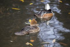 Hooded Merganser (Lophodytes cucullatus). Spotted outdoors in the wild Stock Image