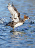 Hooded Merganser - Lophodytes cucullatus Stock Images