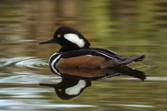 Hooded Merganser Male Duck Florida royalty free stock photos
