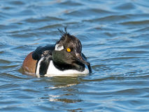 Hooded Merganser Royalty Free Stock Photos