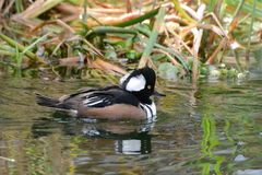 Hooded merganser Stock Image