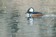 Hooded Merganser Royalty Free Stock Photography