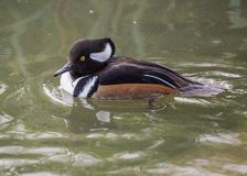Hooded Merganser: Stock Photography