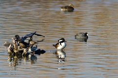 Hooded Merganser Standing Watch on the Still Pond Waters Stock Photography