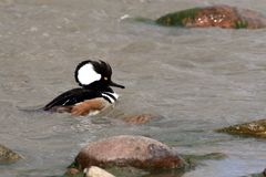 Hooded Merganser swimming. In rushing water with rocks in stream Royalty Free Stock Photos