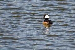 Hooded Merganser Swimming in the Blue Lake Royalty Free Stock Photo