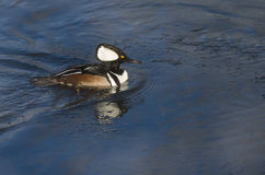 Hooded Merganser Swimming in a Cold Slushy Winter River Royalty Free Stock Photography