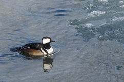 Hooded Merganser Swimming in a Cold Slushy Winter River Stock Photos