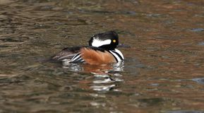Male Hooded Merganser on the pond. This Hooded Merganser is swimming on the pond on a cold winter day. The Merganser has it`s eyes wide open an it very alert stock photo