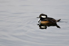 Hooded Merganser Swimming in the Still Pond Waters Stock Image