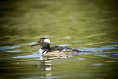 Hooded merganser in water. Stock Image