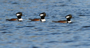 Hooded Mergansers Stock Image