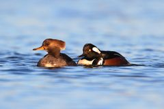 Hooded Mergansers Royaltyfria Foton
